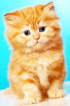 #chat  #cat  #chaton  #mignon  #roux  #kitten