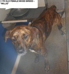 SL: 9-16-17:  Millie : Dog • Boxer • Adult • Female • Medium Bladen County Animal Shelter Elizabethown, NC