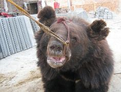Ban bear baiting in South Carolina now! Bear baiting is a 'sport' where pit dogs attack chained bears with the view of training them and entertaining the crowds...