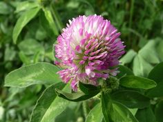 Confiture de fleurs de trèfles (fleurs roses) http://www.lacasaco.fr/article-confiture-de-fleurs-de-trefles-fleurs-roses-49028514.html