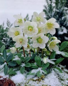 Christmas Rose • Plant each of these around 15 inches apart in the spring and then enjoy their white frosted appearance the following winter.