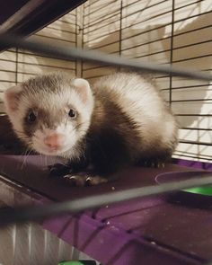 Bandit : hey mom, it's morning! Time to get me out of that funny prison so I can run around and bite your toes  #ferret