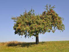 Damit Sie regelmäßig schöne Äpfel ernten können, sollten Sie mindestens einmal pro Jahr Ihren Apfelbaum schneiden.