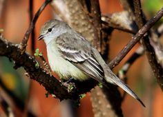 Piolhinho - Planalto Tyrannulet (Phyllomyias fasciatus) | Flickr - Photo Sharing!