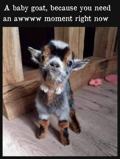 Nothing like a baby goat to make you saw AWWWW and smile. The post Nothing like a baby goat to make you saw AWWWW and smile. Baby Farm Animals, Baby Animals Super Cute, Baby Animals Pictures, Cute Little Animals, Cute Animal Pictures, Cute Animal Memes, Cute Funny Animals, Cute Goats, Baby Goats
