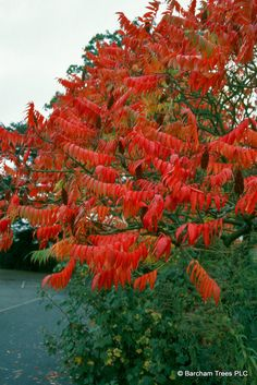 Rhus Typhina - Stag's Horn Sumac