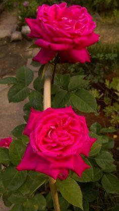 Acapella rose