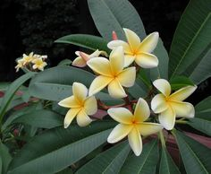 Aztec Gold, plumeria - Google Search