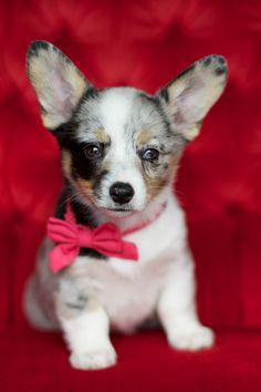 Dottie the cowboy corgi Corgi Mix, Cute Corgi, Corgi Wallpaper, Desktop Wallpapers, Cowboy Corgi, Funny Animals, Cute Animals, Pug Pictures, Pet Dogs