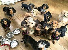 "#dachshund_love #dachshundonly #dachshundproblems…"""