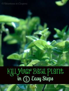 Growing Basil? Check out how to Kill Your Basil In 5 Easy Steps...or do the opposite and grow a flavorful herb at home!