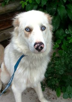 Petfinder  Adoptable | Dog | Great Pyrenees | Sharonville, OH | DASH (Courtesy Post) - Dash is a laid back, happy go lucky deaf dog.   For more info please contact Pam at her email address.   adams1025@windstream.net   Dash is located in Rineyville KY