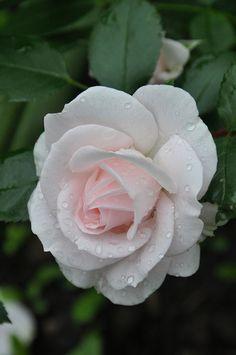 Aspirin Rose | Flickr - Photo Sharing!