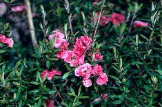 Leptospermum scoparium 'Red Damask' (d) AGM