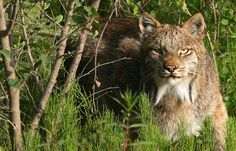 Le lynx du Canada Canadian Animals, Canadian Wildlife, Lynx Du Canada, Jaguar, Panther, Caracal, Cheetahs, Puma, Wildlife Photography