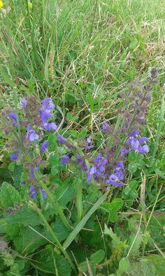 19.6.2016 Salvia selvatica, pratensis.