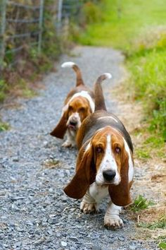 I just love basset hounds