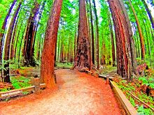 "Armstrong Redwoods State Natural Reserve. ~ Walela Dikanogidv ""Songs of the Hummingbird"""