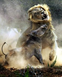 Epic fight a lion and a Warthog in a South African nature reserve. Photo by Photographer Alex Choi