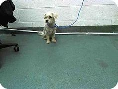 Pictures of JENNY a Maltese puppy dog for adoption in Miami, FL who needs a loving home.