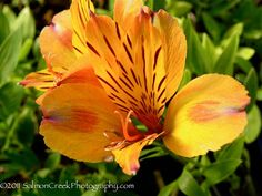 Alstroemeria or Peruvian Lily at Digging Dog | Alstroemeria ...