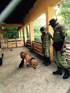 DRC Rangers and hounds protecting the last preserve of the lowland gorillas. African Jungle, Picture Boards, Congo, Vignettes, Preserve, Ranger, Police, National Parks, Passion