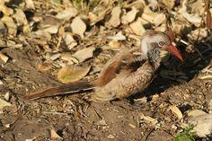 Juvenile Red-billed Hornbill