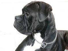 Black Boxer Dogs   Huge spring litter (11) of SEALED BLACK BOXERS for sale in Amherstburg ...