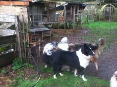 Lady, a beautiful bi-black, old-fashioned Farm Collie. Scotch Collie, Livestock, Border Collie, Friends, Lady, Dogs, Beautiful, Doggies, Boyfriends