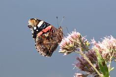 Wunderbare Motive im Spätsommer | Schmetterling wie der Admiral genießen die Blüten im Spätsommer (c) Frank Koebsch (3)