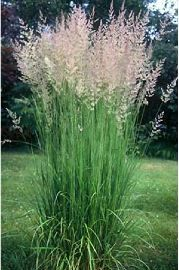 Calamagrostis x acutiflora Karl Foester