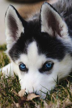 Фото Щенок хаски с голубыми глазами (© Seona), добавлено: 16.08.2015 01:02