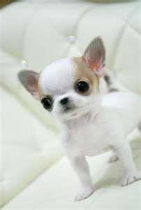 Baby Chihuahua--ooh so precious!