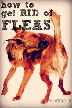 How to get rid of fleas in your home and on your pet, using safe, nontoxic, natural methods. Flea Bath For Dogs, Natural Flea Killer, Kill Fleas On Dogs, Dog Flea Remedies, Itching Remedies, Flee Remedies, Essential Oils For Fleas, Itchy Dog, Cat Diseases
