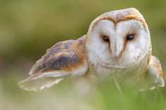Kerkuil / Barn Owl
