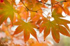 AUTUMN JOY by JENNY RAINBOW. All art products for home decor in one awesome autumn style: metalic print, cushion,duvet, shower curtain and tote bag           Art Prints For Home, Home Art, Fine Art Prints, Rainbow Photography, Fine Art Photography, Dwarf Japanese Maple, Ur Beautiful, Autumn Nature, Metallic Prints