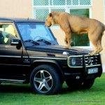 Lion on a Porsche, Ferrari, Rolls Royce, SLS AMG, and Lamborghini Read more at http://www.rushlane.com/supercars-and-big-cats-uae-1296277.html#ZZEWWsuyJoJs6hkX.99
