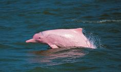 Hong Kong's 'pink' dolphins under threat from airport and Macau bridge