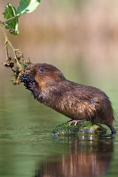 Not Found Beaver Pictures Animals Beautiful Animals Wild