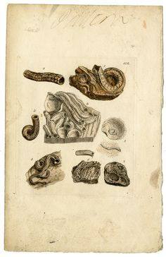 Patter plates for Mineral Conchology of Great Britain by Hopkins Rare Books, Manuscripts, & Archives, via Flickr
