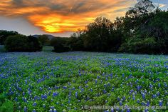 bluebonnet pictures in texas | texas bluebonnet sunset a full field of texas bluebonnets stretches as ...