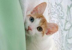 odd-eyes-cat03.jpeg