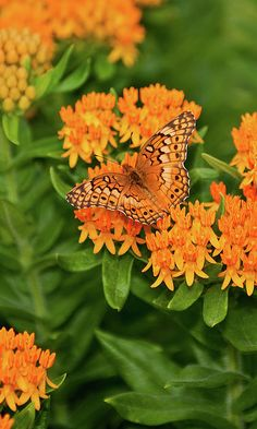 Butterfly Milkweed blooms through the summer and fall and requires little water. It's great for the back of your garden as it can get up to 3 feet tall, and adds that pop of color towards the end of the season.
