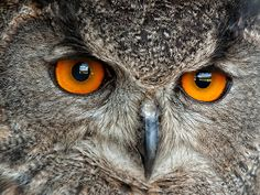 ☆ Eurasian Eagle Owl :¦: By Bill Maynard ☆