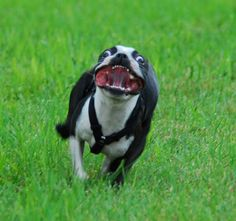 The many things we all respect about the Boston Terrier Puppy Funny Animal Pictures, Dog Pictures, Funny Animals, Cute Animals, I Love Dogs, Cute Dogs, Boston Terrier Love, Funny Boston Terriers, Terrier Dogs
