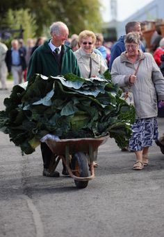 Vegetable gardener Peter Glazebrook gets admiring glances as he wheels his giant cabbage weighing 81lbs and 6ozs through the annual Harrogate Autumn Flower Show on Sept. 14, 2012, in Harrogate, England.
