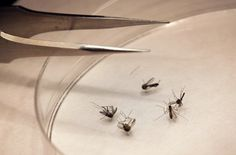 Zika virus has been dominating the headlines, but the mosquito-spread infection that Texans should worry about is a more familiar foe -- West Nile virus, experts say. The outbreak of…
