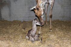 Naissance d'un girafon du Cap à Planète Sauvage