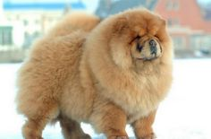 10 most expensive dog breeds  – Their prices will shock you ( Pics)