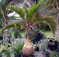 Bonsai flower seeds,Rare Potted Plant for home garden pots planters Palm Trees Landscaping, Tropical Landscaping, Landscaping With Rocks, Backyard Landscaping, Luxury Landscaping, Landscaping Ideas, Backyard Ideas, Tropical Backyard, Tropical Plants